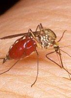 moustique4.jpg